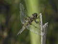 tn_Four-spotted chaser