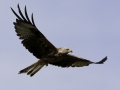 tn_Red kite