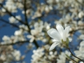 tn_Dave McLeavy - Nikon - D300 + Nikkor 16-85mm Magnolia tree blossom the Botanical Gardens, Sheffield