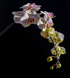 Orchid-in-Bloom_et