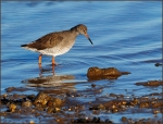 Redshank_web