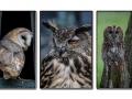 Owl triptych_et