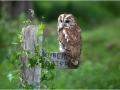 tn_Tawny Owl
