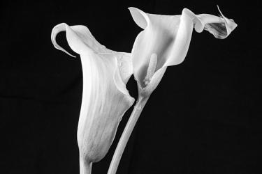 Calla-Lilies_et