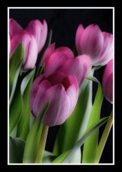 Pink-Tulips_et