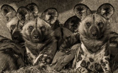 painted dogs 2-Edit_et
