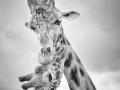 Marie Rollitt Giraffes_et