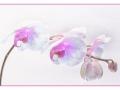Orchid Marie Rollitt_tn.JPG