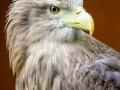 Sea Eagle by Marie Rollitt_et