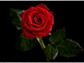 tn_Red Rose by Marie Rollitt