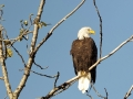 Eagle tree_et