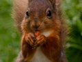 tn_Red Squirrel snack