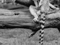 Lemur-1_et
