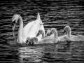 Swan family_et