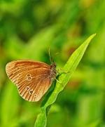 18 Tony G Ringlet Butterfly_et