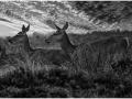 deer-on-big-moor-highly-commended_et