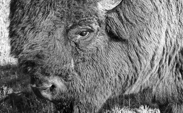 Bison finish_et